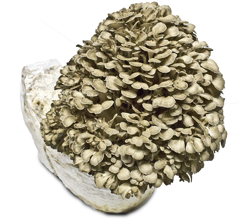 Maitake Mushroom Log