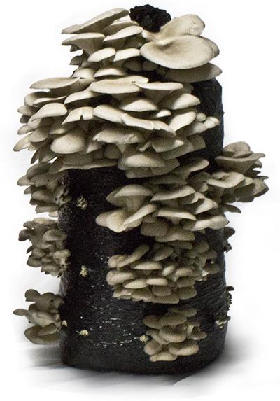 Oyster Mushroom Logs