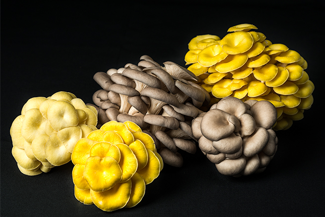 Colored Oyster Mushrooms