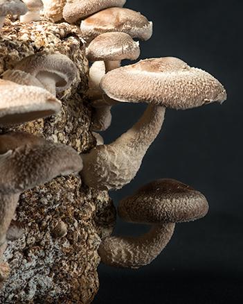 Log of shiitake mushrooms