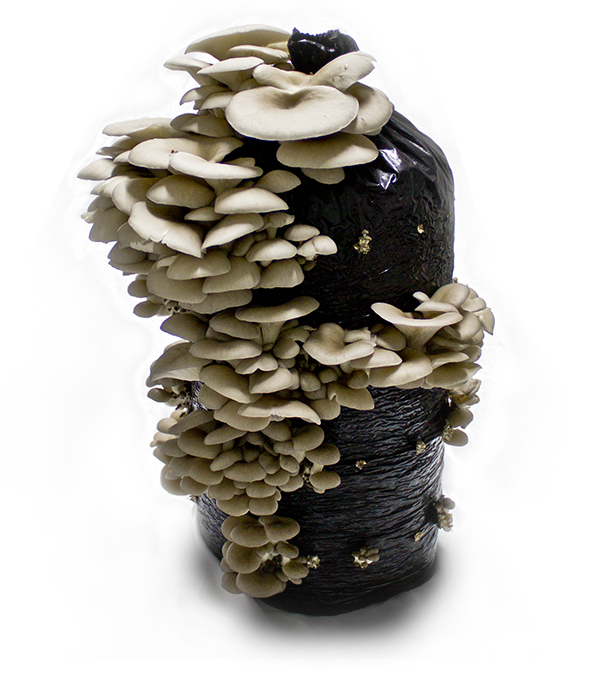 Grown Oyster Mushrooms